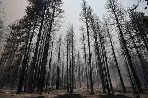Burnt-trees-stood-smoky-aftermath-Rim-Fire.jpg