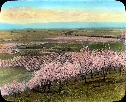 440px-Prune_Orchard_near_Santa_Clara,_California_(3655751146)