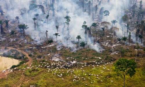Amazon Cattle Graze:Daniel Beltra