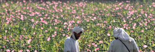 Kandahar Poppy Harvest.png