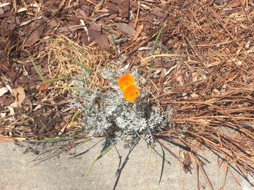 Poppy Flower in Pavement.png